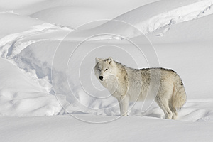 A lone arctic wolf (Canis lupus arctos) isolated on white background walking in winter snow in Canada