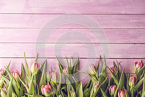 Pink tulips on pink wooden background, happy easter, springtime
