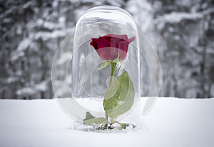 Enchanted Red Rose Under Glass