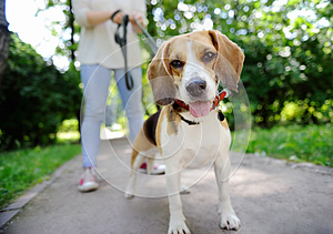 Close up photo of young woman walking with Beagle dog in the summer park