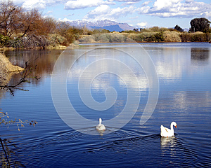 White Geese swim out onto a calm peaceful lake
