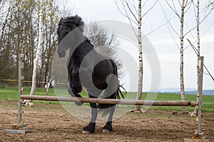 Jumping friesian horse. Equine sport.