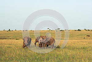 Elephants in Maasai Mara, Kenya