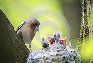 Bird Chaffinch feeds its young hungry Chicks in the nest in the