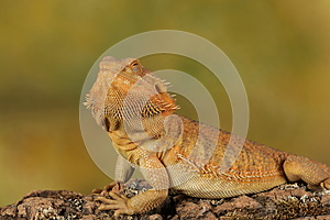 Bearded dragon - studio captured image