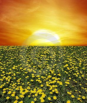 Sunrise of dandelion field