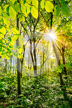 Spring in forest with sun shining through trees