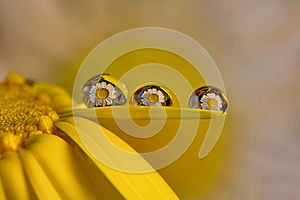 Some macro drops  in  daizy