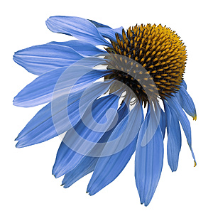 Flower blue Chamomile on white isolated background with clipping path. Daisy blue[yellow for design. Closeup no shadows.
