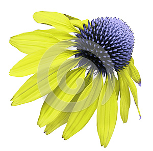 Flower yellow-blue Chamomile on white isolated background with clipping path. Daisy blue[yellow for design. Closeup no shadows.