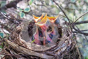 Three baby birds in a nest with beaks wide open waiting to be fe