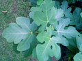 Fig Leaves Stock Photography