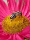 Bee on a pink flower 2 Royalty Free Stock Images