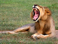 Lion Yawn Stock Image
