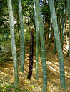 Bamboo Forest Stock Image - 10711