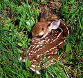 White-tailed Fawn Royalty Free Stock Images - 19269