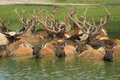 Elks In The Pond Royalty Free Stock Photo - 1002755