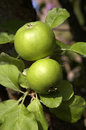 Two Green Apples Stock Photography - 1002952