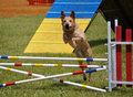 Large Dog  Leaping Over A Jump At Agility Trial Royalty Free Stock Photo - 10005245