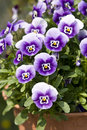 Pansies Stock Images - 10030594