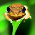 Tree Frog Royalty Free Stock Image - 10035166