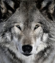 Gray Wolf Stock Images - 10046924