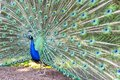 Pavo Cristatus, Peacock Taken Head On Royalty Free Stock Photography - 100490997