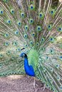 Pavo Cristatus, Peacock Taken Head On Royalty Free Stock Photo - 100491405