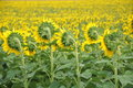 Field Of Sunflowers Royalty Free Stock Photos - 10062088