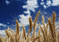 Wheat Stock Image - 10066911