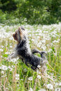 Yorkshire Terrier Royalty Free Stock Image - 10069626
