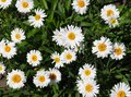 Small Daisies Stock Images - 100876044