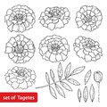 Vector Set With Tagetes Or Marigold Flower, Bud And Leaf In Black Isolated On White Background. Ornate Tagetes Flowers In Lineart. Stock Photos - 101099853