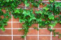 Close Up Wall With Ivy. Royalty Free Stock Photography - 101158617