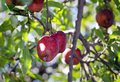 Organic Apples On The Tree Royalty Free Stock Images - 101191339
