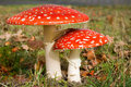 Fly Agaric Stock Photo - 10120080