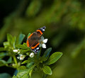 Red Admiral Stock Photo - 10131660