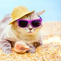 Cat Wearing Sunglasses Relaxing On The Beach Royalty Free Stock Images - 101328799