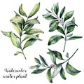 Watercolor Winter Plant Set. Hand Painted Snowberry Branch With White Berry Isolated On White Background. Christmas Royalty Free Stock Images - 101422989