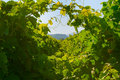 Background Of Green Grape Leaves Royalty Free Stock Photo - 10170485
