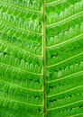 Fern Royalty Free Stock Images - 10171609