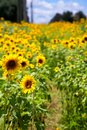 Path Through Sunflowers Royalty Free Stock Image - 101805266