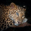 Leopard Royalty Free Stock Photography - 101931367