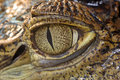 Crocodile Eye Stock Image - 10201281