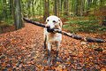 Muddy Dog In Autumn Nature Royalty Free Stock Photo - 102159025
