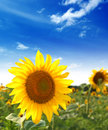 Sunflower Stock Photography - 10221752