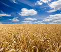 Wheat Stock Images - 10227714