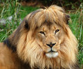 Male Lion Royalty Free Stock Photo - 10233365