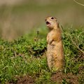 Ground Squirrel Spermophilus Pygmaeus Standing In The Grass And Shouts Stock Photo - 102586040