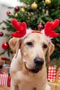 Labrador With Christmas Reindeer Antlers Stock Photography - 102683272